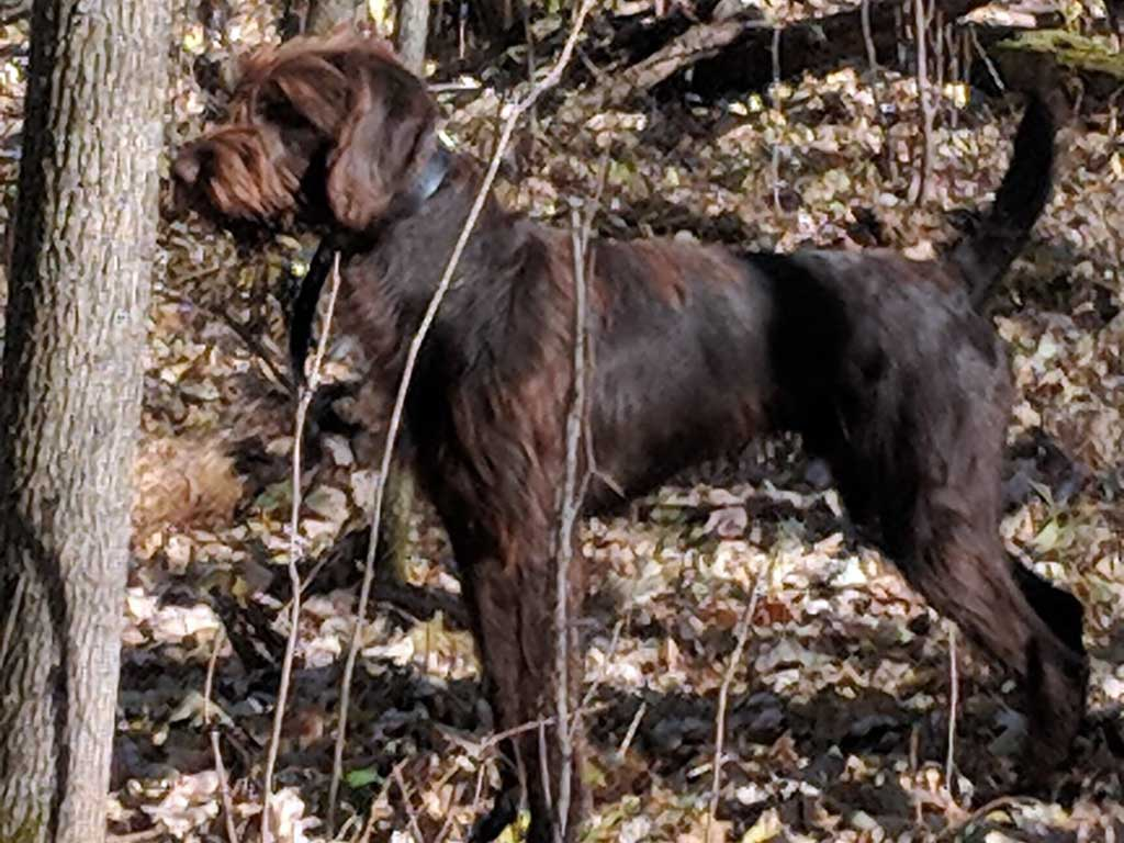Professional Hunting Dog Training Minnesota Gun Dog Trainer