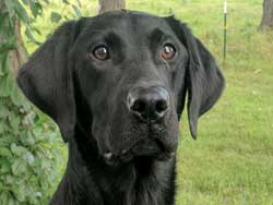 Abe is a male black Labrador hunting dog for sale at Granite Ledge Kennels