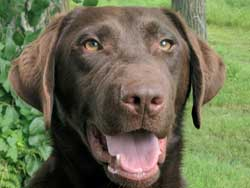 Ace is a male chocolate Labrador hunting dog for sale at Granite Ledge Kennels