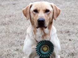 Blitz is a Labrador stud dog at Granite Ledge Kennels