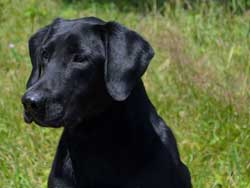 Gator is a Labrador stud dog at Granite Ledge Kennels