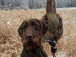 Harry is a Pudelpointer retrieving a rooster pheasant