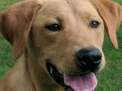 Jake is a male yellow Labrador hunting dog for sale at Granite Ledge Kennels