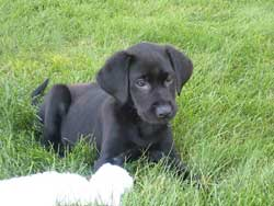 A black lab puppy bred at Granite Ledge Kennels