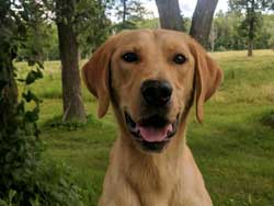Olie is a male yellow labrador hunting dog for sale at Granite Ledge Kennels