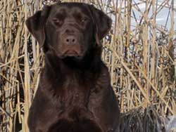Raider is a Labrador stud dog at Granite Ledge Kennels