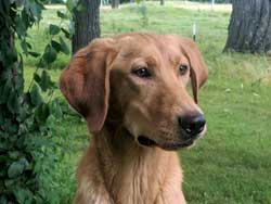 Red is a male yellow Labrador hunting dog for sale at Granite Ledge Kennels