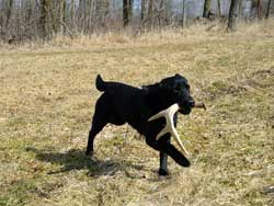 A lab with an antler found while shed hunting